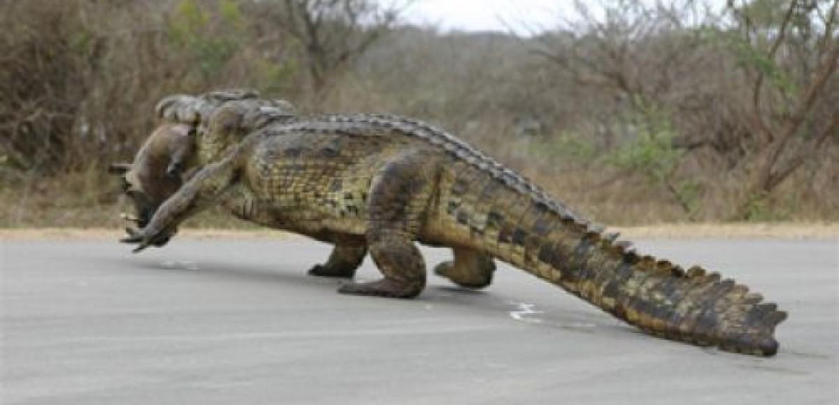 Крокодил устроил пробку на шоссе в штате Луизиана