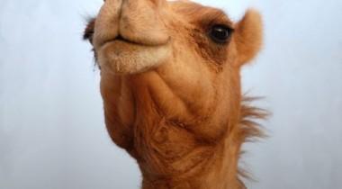 В австрийском городе Добриах транспортное движение парализовало стадо верблюдов