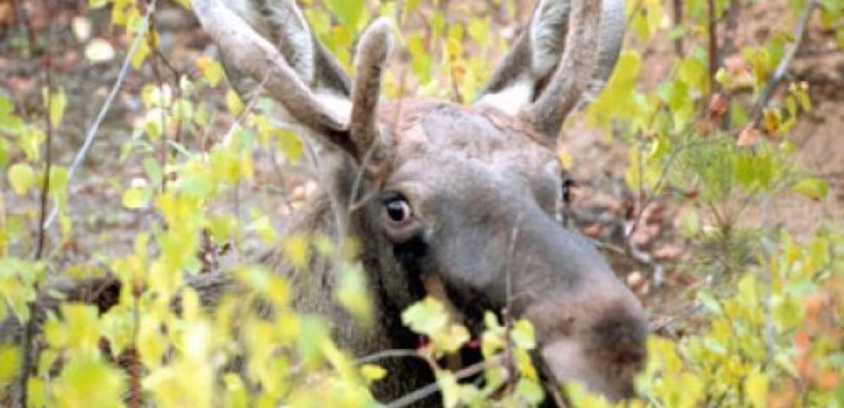 В Ленинградской области водитель, сбивший лося, скрылся с места ДТП