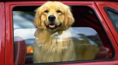 Женщина решила научить свою собаку водить автомобиль