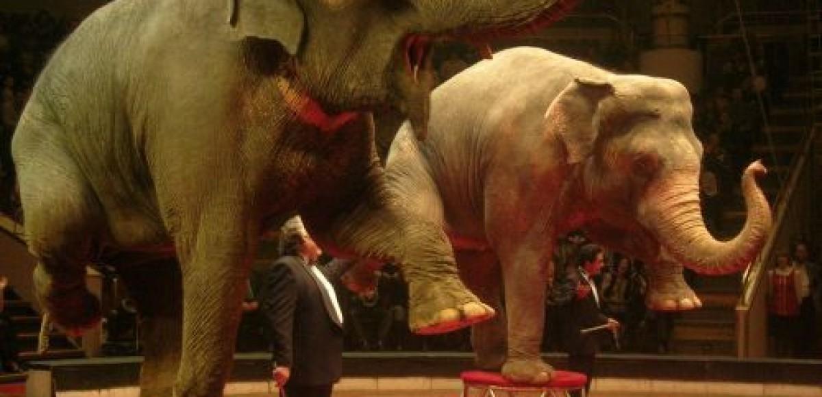 В ДТП погибла сбежавшая из цирка слониха