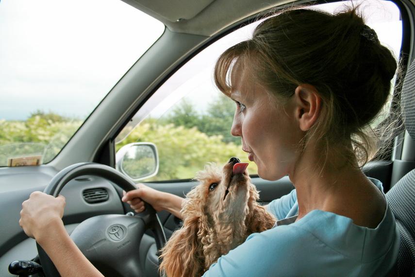 Пример неправильной перевозки собака