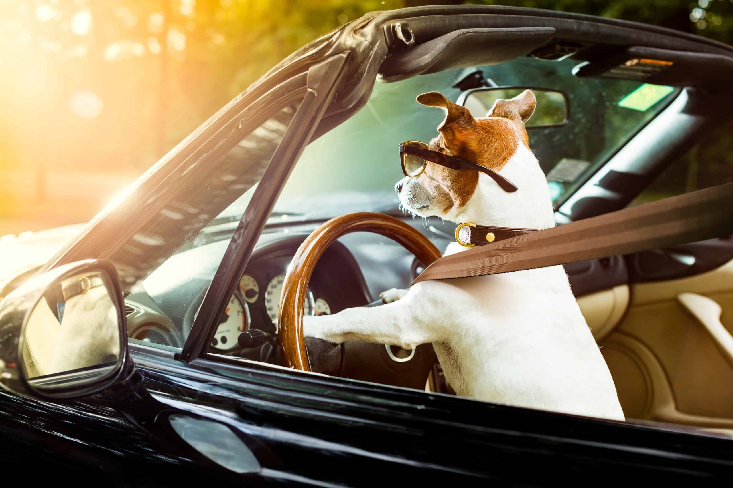Собаки заставляют людей водить аккуратнее